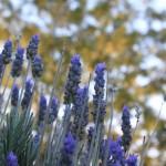 lavender-56284_1920